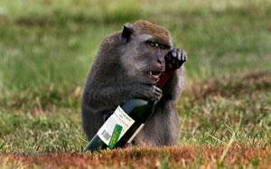 Пьяные обезьяны - эволюционное похмелье
